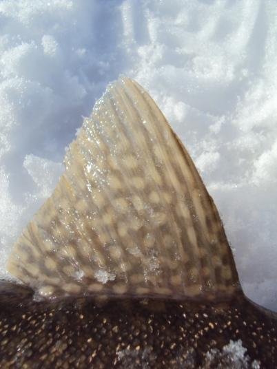 Lake trout fin