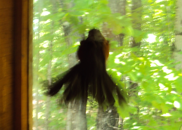 A cattywampus robin beating itself against our sliding glass window several years ago