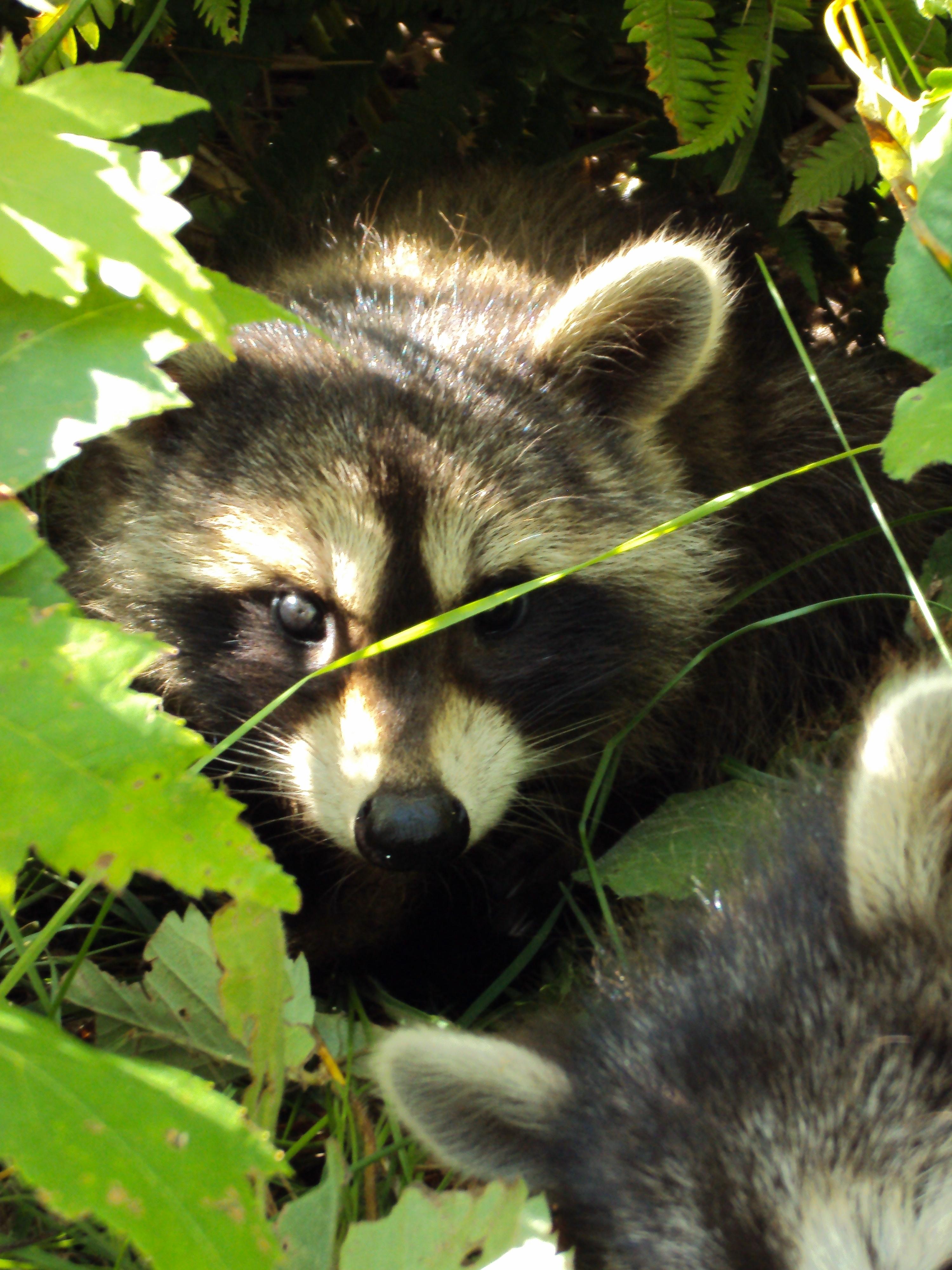 Dsc Raccoon Face Side