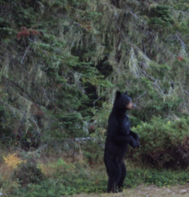Bear stands on hind legs