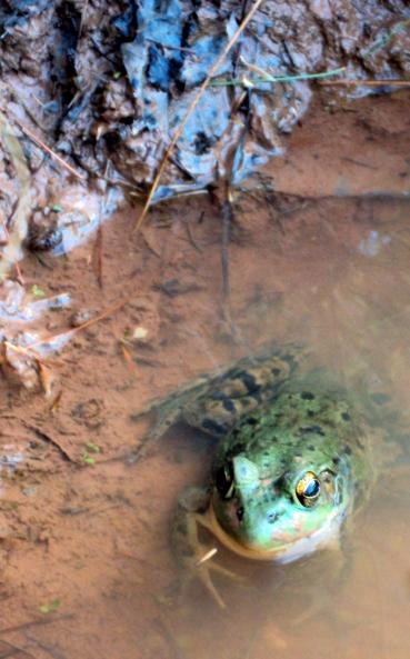 Amphibian eyes