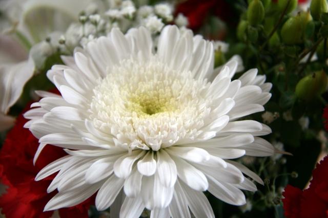 Christmas carnation