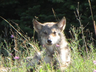 Baby wolf (photo courtesy Keweenaw Bay Indian Community game cameras)