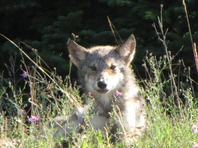 Baby wolf (photo courtesy Keweenaw Bay Indian Community game cameras)
