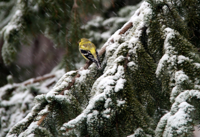 Flash of yellow in snow