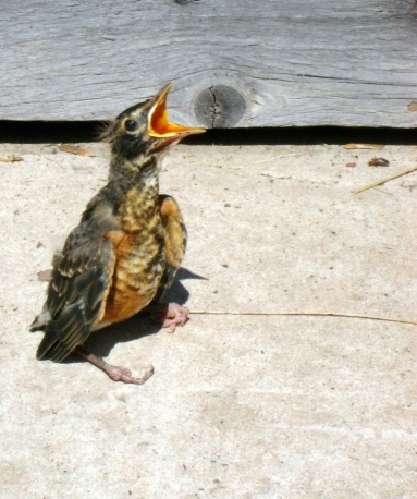 "Baby robin singin' the envy blues.  ""But my brothers and sisters can fly!"""
