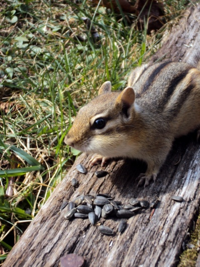 Chipmunk listening to my stories