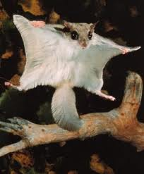 Might it be a Flying squirrel?