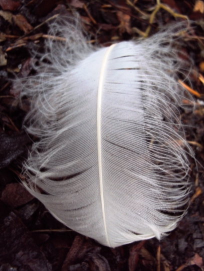 White eagle feather