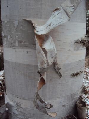 Birch bark.