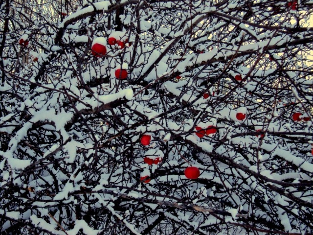 Bright red apples on snowy branches