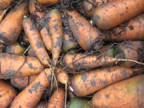 Carrots of the earth...