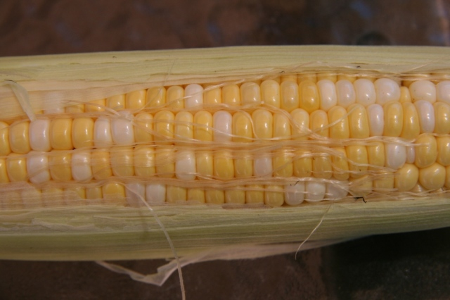 Tenderest of sweet corn