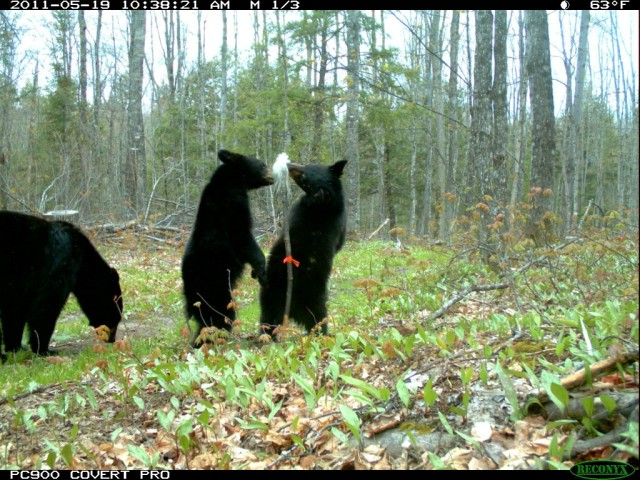 Bear with yearling cubs