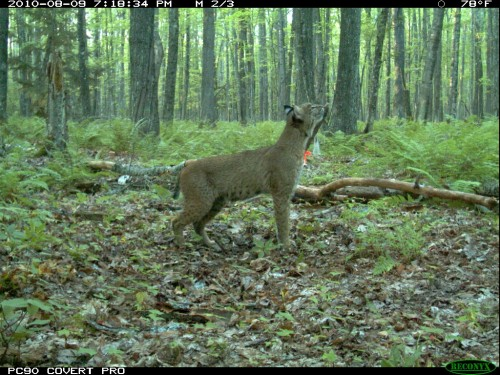 Bobcat in summer