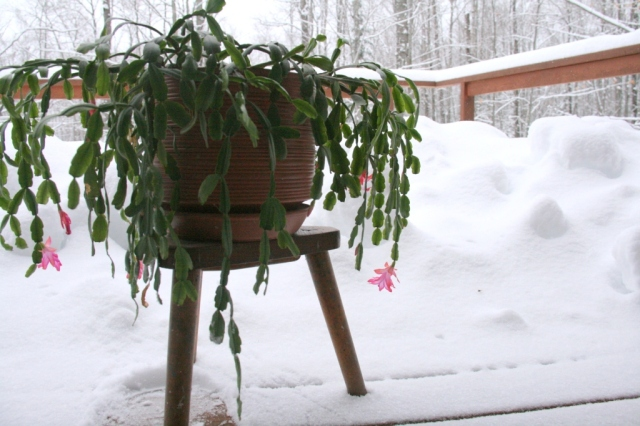 Christmas cactus in the snow (the cactus was appalled at the photo shoot idea!)