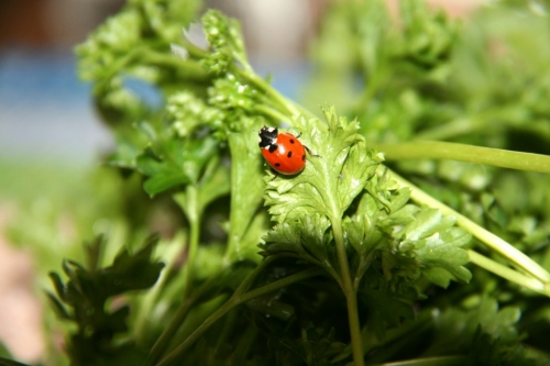 Ladybug in parsley.  View One.