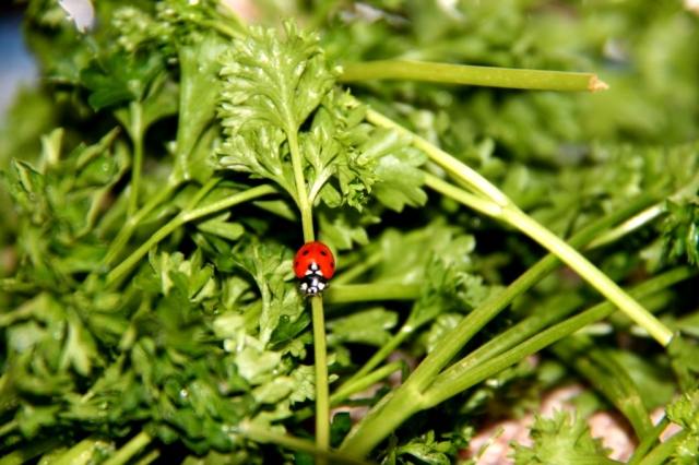Ladybug in parsley.  View Two.