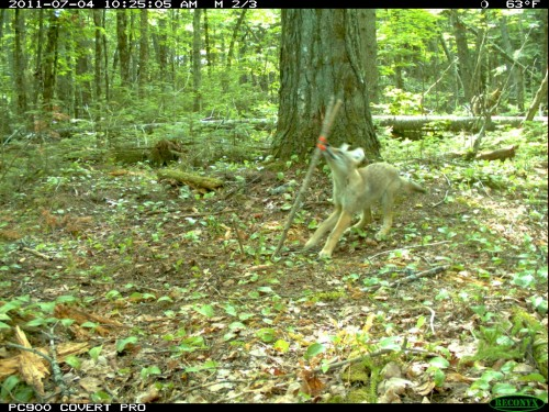 Coyote pup playing with flagging tape