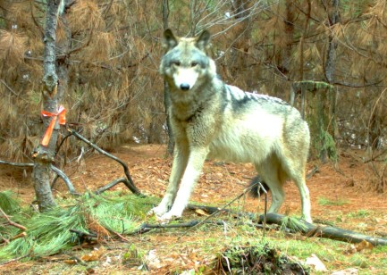 Gray wolf (photo courtesy Keweenaw Bay Indian Community game cameras)