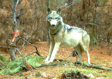 Gray wolf (photo courtesy Keweenaw Bay Indian Community game cameras)