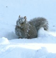 Snowy-faced gray squirrel