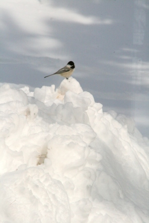 Chickadee on six foot snow bank