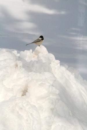 Chickadee on six foot snow bank