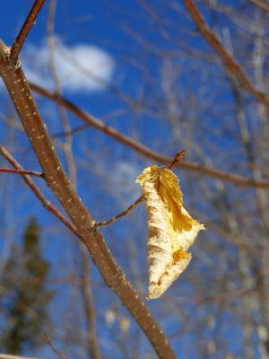 April, 2013.  Last year's leaf.  This year's blue sky...