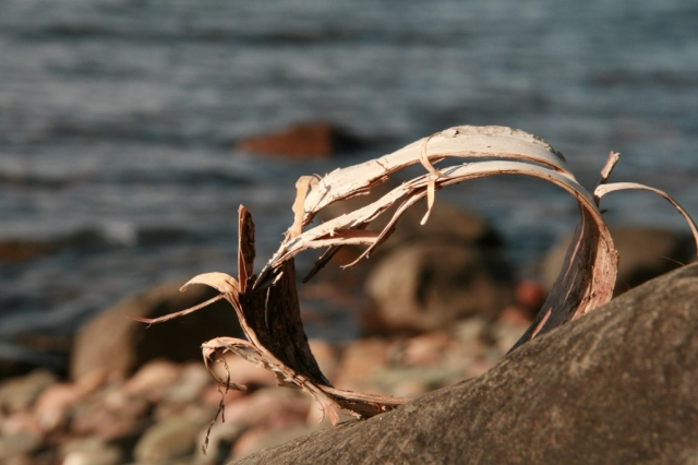 May, 2012.  A circle of birch bark along the shores of Lake Superior.