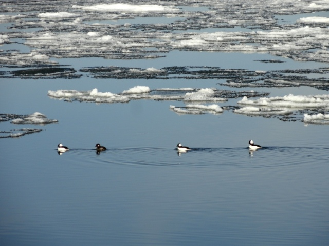 Four ducks swimming between the ice floes