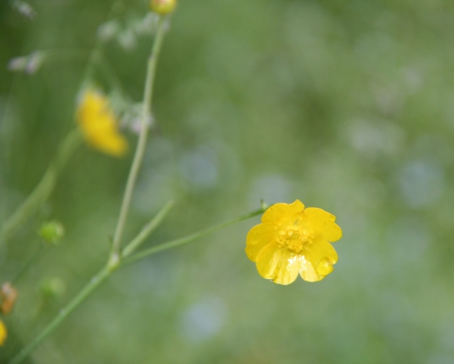 OK, maybe a yellow buttercup, same difference, doncha think?