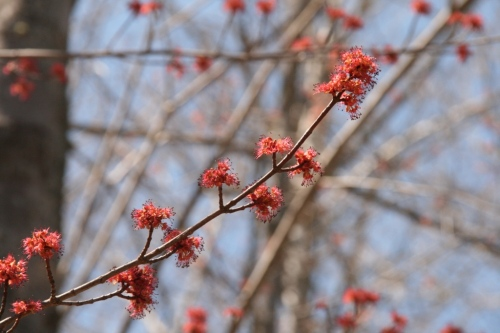Spring buds on the maple trees