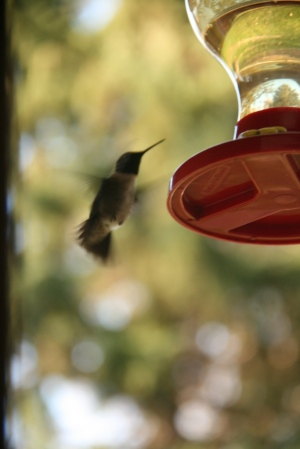 What is that blur?  Could it be the male hummingbirds have returned?