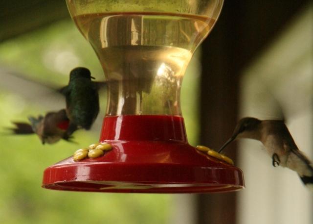Kamikaze hummingbirds, I tell ya.