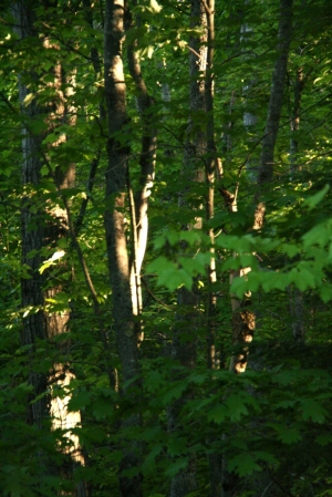The woods at 9 p.m. in mid -June
