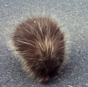 A porcupine on the road