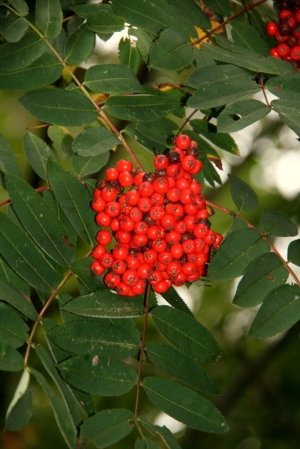 Trail side mountain ash berries