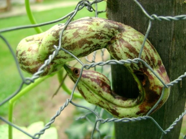 I love this old pic of a rattlesnake bean.  See its eye?  Ha ha