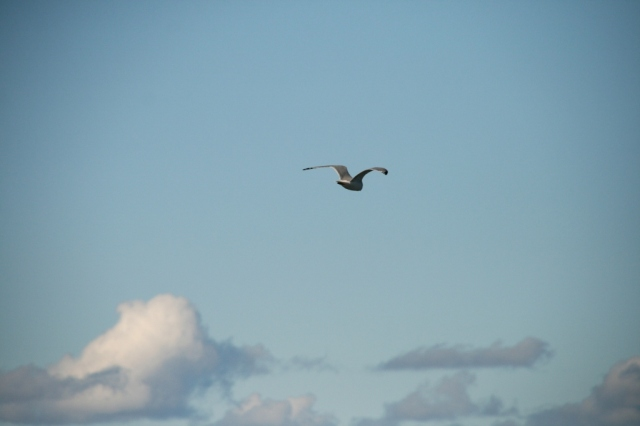 Seagull flies above