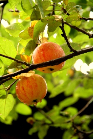 Rain drops on apples...