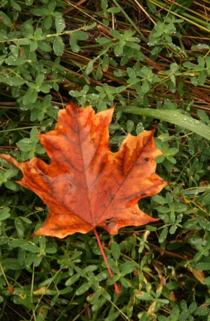 Vivid fallen maple leaf