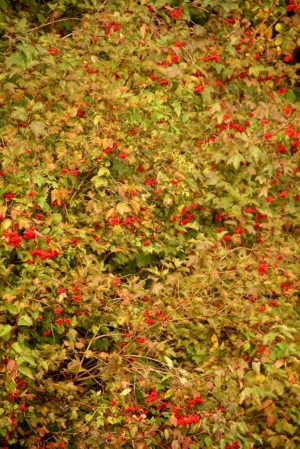 A plethora of red berries