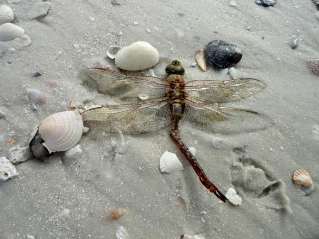Dragonfly among shells