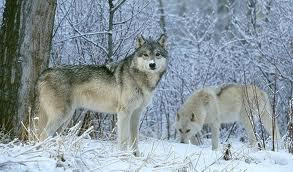 Wolves in snow.  (None of these photos are mine, darn it.)