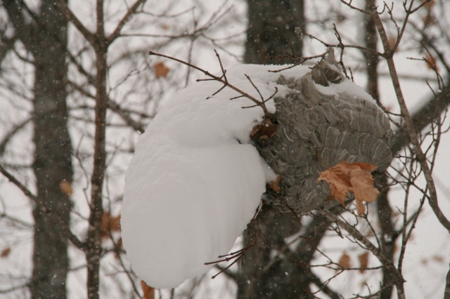 Remember that wasp I showed you yesterday?  Look at this snowy wasp nest outside!
