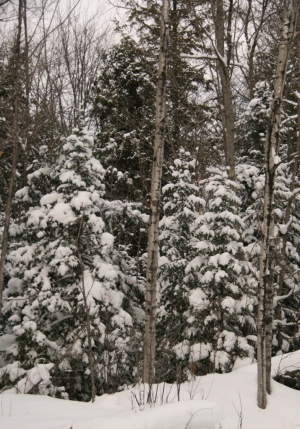 Snow in the evergreens