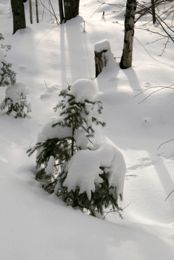 Little Christmas trees in the north woods