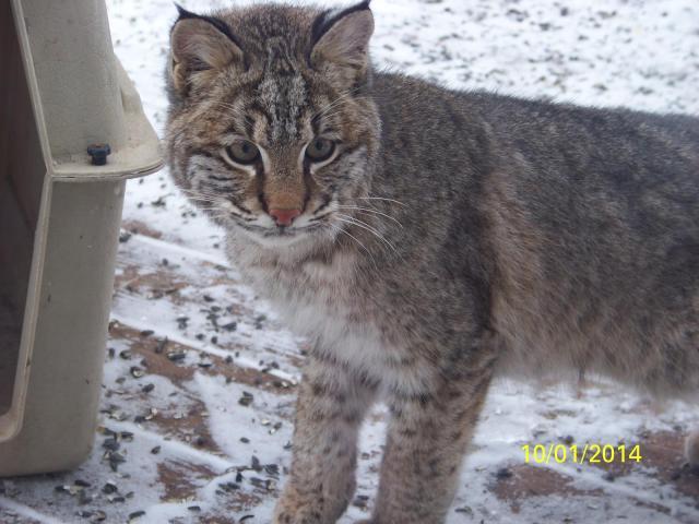 Hey, it's a bobcat!