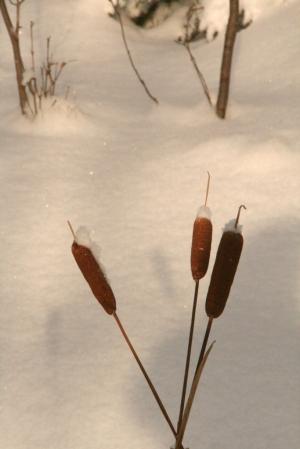 Pond cattails
